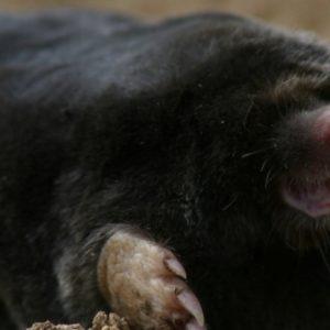 Mole by steve bottom for cornwall wildlife trust